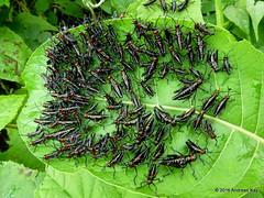 Chromacris psittacus (Ecuador Megadiverso) Tags: book chromacrispsittacus flickr grasshopper loscedros lubbergrasshopper nymph orthoptera romaleidae romaleinae andreaskay ecuador