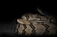 Timber Rattlesnake (cre8foru2009) Tags: crotalushorridus timberrattlesnake canebrake georgia nature wildlife snake reptile venomous pitviper night