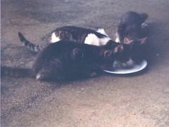 Strays Enjoying Breakfast - c1983 (kimstrezz) Tags: 1983 familytriptohawaiic1983 hanaleibay kauai cat