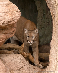 Mountain Lion, Pima County, AZ (4 Corners Photo) Tags: 4cornersphoto animal arizona cat catamount color cougar ears eyes mammal monsoon mountainlion northamerica nose paws pimacounty puma pumaconcolor rock rural scenery sonorandesert summer unitedstates whiskers wildlife wood tucson us saguaronationalpark