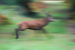 cerf laphe (cervus elaphus) (G.NioncelPhotographie) Tags: cerf laphe cervus elaphus cervid mammifre animaux fort
