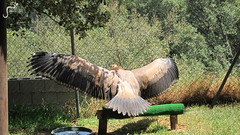 Buitre-Leonado-or-Griffon-Vulture-at-Castellar-Zoo (marbellaescapes) Tags: marbella rescue center zoo castellar tiger tour travel malaga costa de sol c caracal lemur vuture