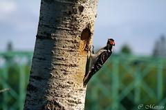 630-Surveillance du nid (clamato39) Tags: picbois woodpecker oiseau bird valcartier qubec provincedequbec canada arbre tree bokeh