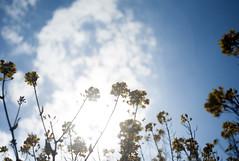 L1008144c (haru__q) Tags: leica m8 leitz summaron field mustard  sky   cloud