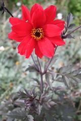 IMG_4570 (ianharrywebb) Tags: edinburgh iansdigitalphotos royalbotanicgardens flowers flower