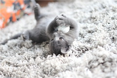 IMG_2520 (murkla_la) Tags: cat russianblue moussie gray graycat