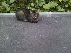 IMG18216pb (chicore2011) Tags: shy but cool tabby