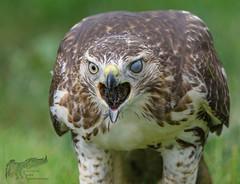 Harvey 9_18 1 (krisinct- Thanks for 12 Million views!) Tags: nikon d500 500 f4 vrg red tail hawk