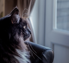 Looking out of the window (Percy) (Olympus OMD EM5II & mZuiko 12-40mm f2.8 Pro Zoom) (1 of 1) (markdbaynham) Tags: cat feline big pet cute whiskers black eyes olympus oly omd em5 em5ii csc mirrorless evil mft microfourthirds m43 m43rd micro43 mz zd zuikolic zuiko percy mzuiko 1240mm f28 zoom