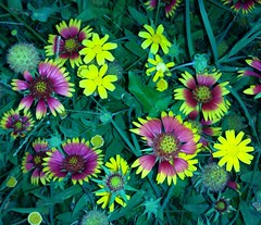 Purdy colors flowers (fxb81 harley davidson) Tags: flowers wild brush paint indian yellow pedals soil plants morning garden sidewalk feild massive