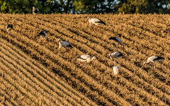 The gang (Pingo2002) Tags: canon 7dmk2 7d sigma 150600 august autum 2016 bird birds farming field whitestork ciconiaciconia vitstork stork