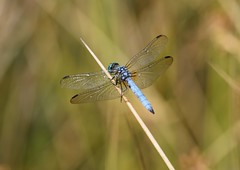 Dragonfly (careth@2012) Tags: dragonfly nature wings wildlife britishcolumbia