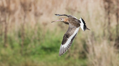 Black-tailed Godwit (Tris Enticknap) Tags: uk dorset godwits nikond750 blacktailedgodwit nikkor300mmf4epfedvrlens limosalimosa weymouth