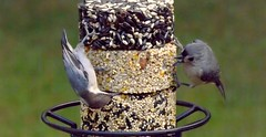 Hey Nutty, Stop Being So Sneaky! (ChicaD58) Tags: dscf5048a tuftedtitmouse brownheadednuthatch backyarddrama seedcake backyrd feeder