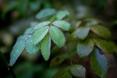 (Michelle Calvert) Tags: naturephotography canon7d canon meramecsprings morningdew leaves nature