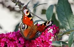 Tagpfauenauge (Hugo von Schreck) Tags: tagpfauenauge aglaisio butterfly schmetterling falter macro makro insect insekt outdoor hugovonschreck canoneos5dsr tamron28300mmf3563divcpzda010 onlythebestofnature