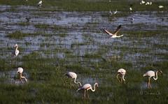 Taking Off (Osama Ali Photography) Tags: birds bird flamenco flamingo reflections marsh green verde fauna beauty spain espaa canon       take off flying water nature natural natura naturaleza