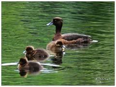 Goldeneye & Baby Ducks (shillphotography001) Tags: golden goldeneye duckswater babiesbaby water