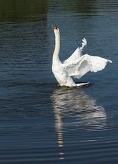 like a ballarina (irene.dijkhuizen) Tags: swan balet water animal blue white