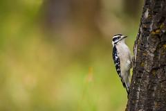 Downey wood pecker (Robert Ron Grove 2) Tags: downey bird robertgrove tree wildlife