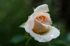 Rosenblte (schmidtvossloch) Tags: rose garten regen germany roses garden rain makro macro