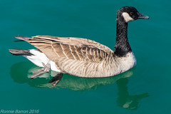 falling foul of fishing line (RCB4J) Tags: chicago ilinois montrosebeach rcb4j ronniebarron sonyslta77v sonydt18250mmf3563 usa america art photography vacation canadageese brantacanadensis wildlife nature pollution waterfowl goose fichingline