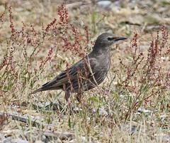 _Q8A1374PointRobertsEuropeanStarlingSmall (birdbug3) Tags: sturnus vulgaris