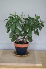 Crassula ovata (a) (Buhnuh) Tags: plant houseplant jade crassula ovata crassulatovata