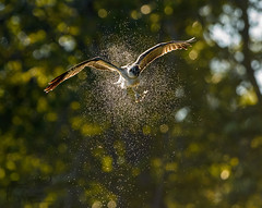Back-Lit Osprey Shake 9_25 (krisinct- Thanks for 12 Million views!) Tags: nikon d500 500 f4 vrg