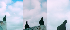 Watched by Pigeons (lesliegill) Tags: 2016 august birds colour hot japan pigeons sigmasdquattro summer sunny triptych tsurumi urbanexploration yokohama