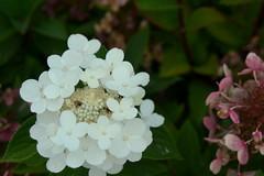 Port Gamble, WA - Community Hall-Post Office Garden (jrozwado) Tags: northamerica usa washington portgamble flower garden communitycenter postoffice