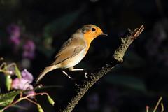 Robin redbreast (david.england18) Tags: robinredbreast robin smallbirds various tits blue coal great queensparkheywood canon7d birdsuk canonef300mmf4lisusm
