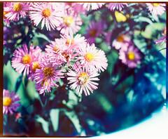 Mamiya_Ektar_flowers_013 (Benjamin Dart) Tags: ektar film mamiya rz67