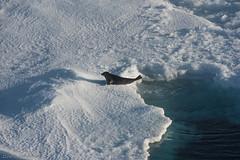 Harp seal 5 (Elvar H) Tags: arcticocean harpseal helmerhansen phocagroenlandica siarctic grnlandssel sealsampling vuselur