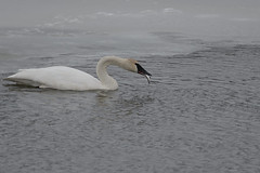Swan and Fish_40638.jpg (Mully410 * Images) Tags: winter fish snow cold bird ice birds swan birding birdwatching birder trumpeterswan minnesotariver burdr mrvnwr minnesotarivervalleynationalwildliferefuge