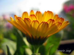 The earth laughs in flowers (Tanwir Jogi) Tags: travel pakistan flower macro green nature beautiful yellow trekking trek adventure cannon daisy traveling tours lahore racecourse treks jogi g9 beautifulpakistan trekkinginpakistan cannong9 tanwir travelinginpakistan thetrekkerz tourisminpakistan tanwirjogi