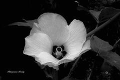 Flor de Molondrón/Okra Flower (Altagracia Aristy) Tags: blackandwhite blancoynegro la américa dominicanrepublic tropic okra romana antilles caribe repúblicadominicana caraibbean quimbombo caraïbe okraflower trópico antillas quisqueya molondrón flordemolondrón quingombo altagraciaaristy fujifilmfinepixhs10 fujihs10 fujifinepixhs10