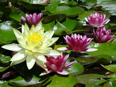Water Lilies (Home Land & Sea) Tags: flowers newzealand summer waterlilies nz napier sonycybershot hawkesbay lilypond explored clivesquare floralappreciation homelandsea dschx100v