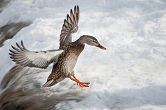 Flying Duck (Justin Lo Photography) Tags: life winter snow canada cold bird ice water birds animal animals flying duck wings action wildlife flight feathers ducks freeze canadagoose