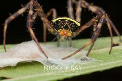 St Andrew's Cross Spider (Argiope versicolor) - DSC_6891 (nickybay) Tags: macro st spider singapore andrews cross orb eggsac weaver argiope versicolor araneidae upperpeircereservoir