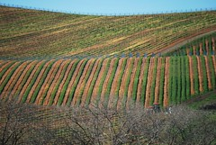 Dormant Grape Vines (Aqua0646 (Pat)) Tags: vines vineyards napa carneros