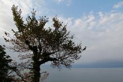 elm ✿ (cyberjani) Tags: sea tree nature elm adriatic istra