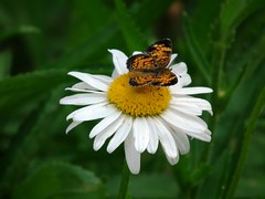 flutter-by visitor (naturegurl01) Tags: white flower green nature yellow butterfly insect ant moth petal daisy pollen wildflower shastadaisy naturegurl01