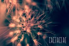 047/365 - Cactaceae (Enthuan) Tags: old school cactus canon vintage project 50mm cross mount faux 365 reverse process cactaceae antoine 500d robiez