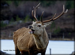 Red Deer Stag - Scottish Highlands (Ally.Kemp) Tags: winter red wild scotland stag scottish glen deer stags mullardoch cannich