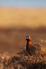 Grumpy Red Grouse (Daniel Trim) Tags: morning winter light nature birds sunrise canon scotland highlands wildlife grouse scottish first moor moorland cairngorms the redgrouse lagopus scotica canon500mmf4 canon1dmarkiv canon1dmark4