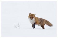 Renard roux dans la neige (Vulpes vulpes) (Denis.R) Tags: snow france canon wildlife lookout 300mm fox neige protection lorraine libre moselle redfox sauvage vulpesvulpes renard renardroux préservation affût billebaude denisr 5dmarkiii denisrebadj