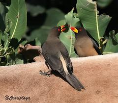Picabueyes Piquigualdo (Buphagus africanus)  Yellow-billed Oxpecker (Corriplaya) Tags: birds aves gambia yellowbilledoxpecker buphagusafricanus picabueyespiquigualdo corriplaya