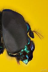 macrofotografia stacking (tacio) Tags: macro closeup insect inseto stacking mosca diptera macrophotography macrofotografia varejeira photomacrography microfotografia taciophilip fotomacro wwwmacrofotografiacombr wwwtaciocombr stackimage