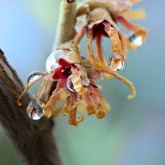 Sporadic Signs of Spring (Lori-B.) Tags: wet rain drops spring waterdrops hamamelis witchhazel earlyspring signsofspring latewinter crystalballs devilinthedetails